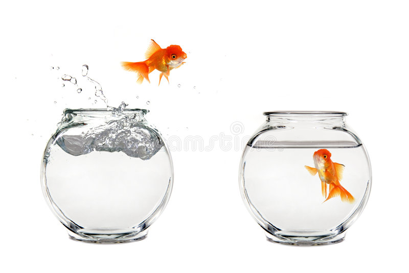 Jumping Goldfish. Goldfish Jumping From One Bowl to Another