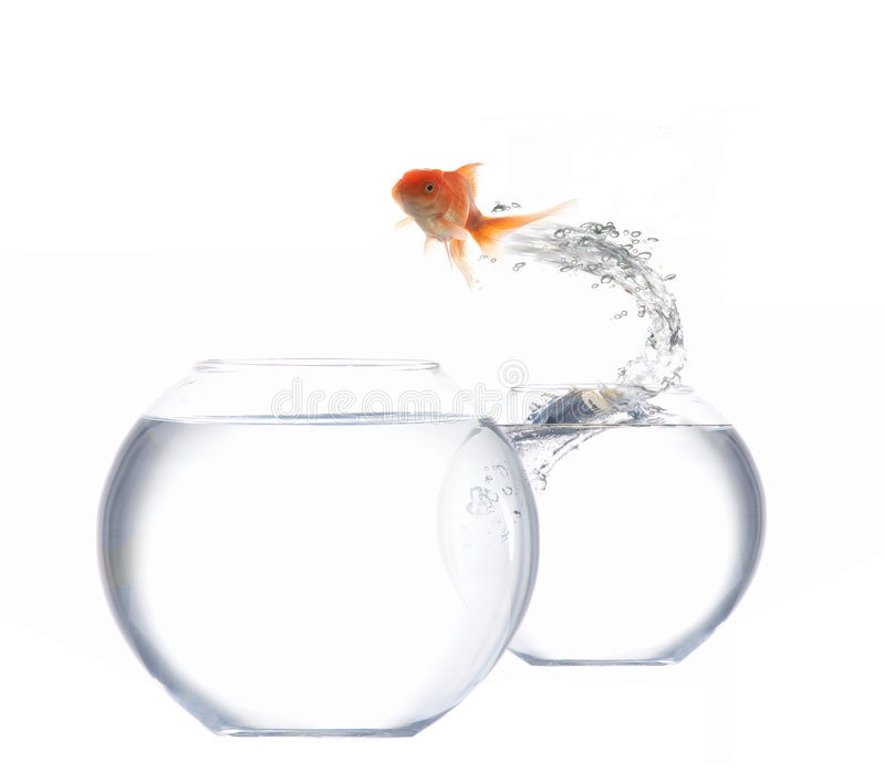 Jumping goldfish. An image of golden fish leaping out of the water royalty free stock photo
