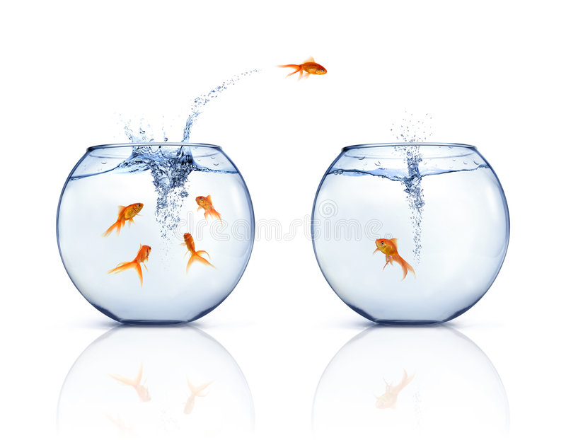 Jumping Goldfishes royalty free stock photo