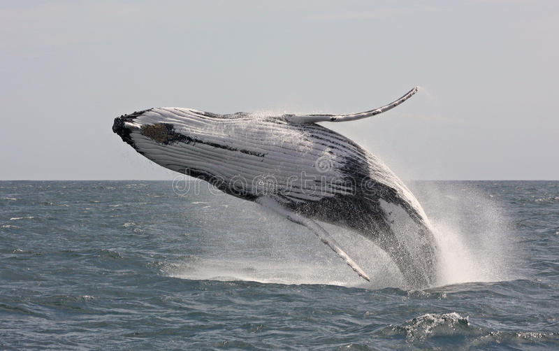 Jumping humpback whale. Playing whales in front of the Australian coast in the Tasman sea