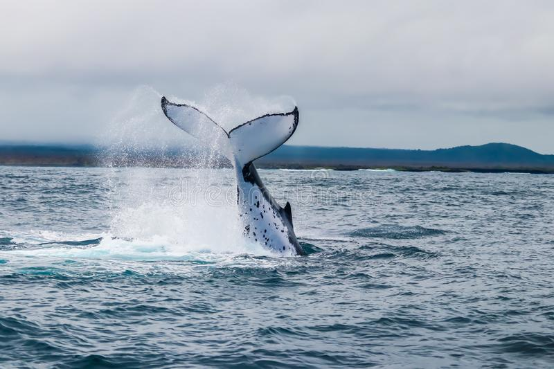Jumping humpback whale. Nice photo of a jumping humpback whale in Galapagos islands stock photos