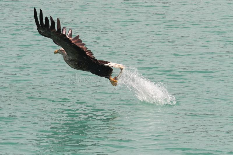 Jumping Jack flash. Sea eagle after landing nose diving and catching a fish, haddock or pollock or salmon,jumping back to the nest at Lofoten Islands Norwegian stock photo