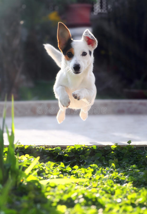 Jumping jack russell terrier. For thrown ball aport royalty free stock images