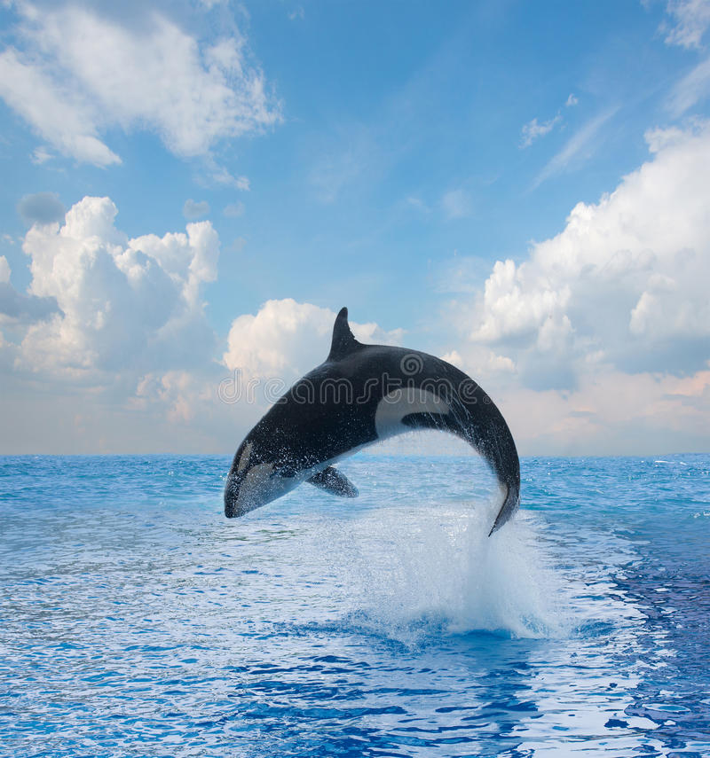 Jumping killer whale. Seascape with ocean waters and cloudscape stock photos