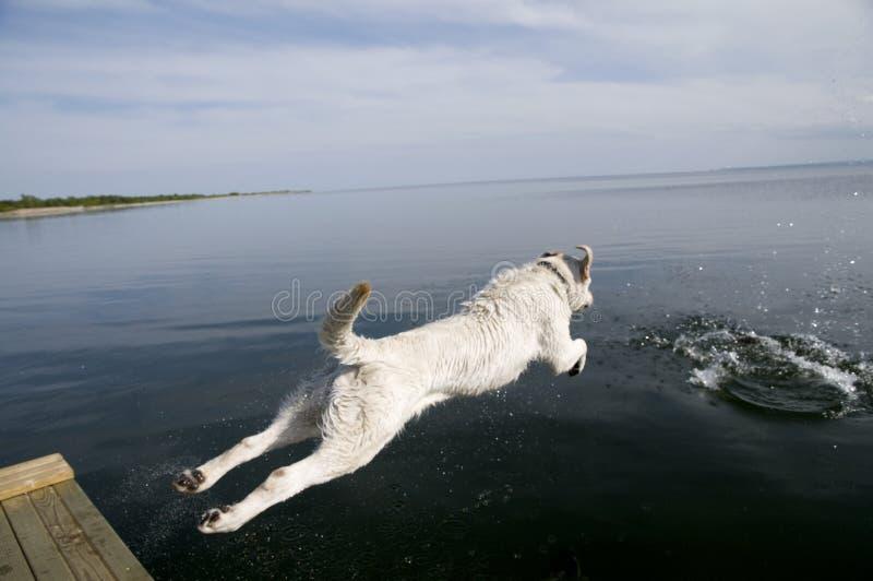 Jumping Labrador Retriever. Labrador Retriever jumping into water stock photos