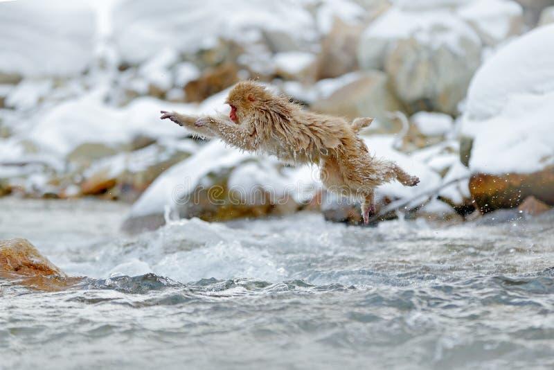 Jumping monkey. Action monkey wildlife scene from Japan. Monkey Japanese macaque, Macaca fuscata, jumping across winter river. Hokkaido, Japan stock images
