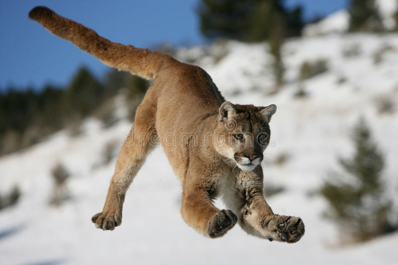 Download Jumping Mountain Lion stock photo. Image of nature, face - 10196850