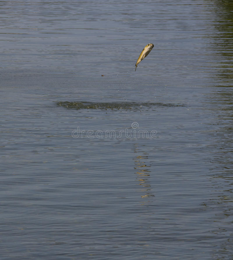 Jumping Mullet. At Homosassa Springs Wildlife State Park royalty free stock photography