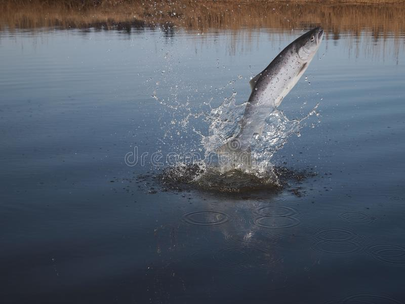 Jumping out from water salmon royalty free stock photography