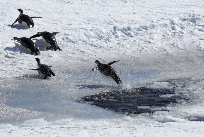 Jumping penguin. Emperor penguin jumping out of an ice hole and following a group of four penguins. Picture was taken near the tip of the Peninsula during a 3