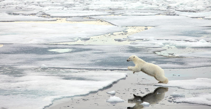 Jumping polar bear. Polar bear in natural environment royalty free stock photos