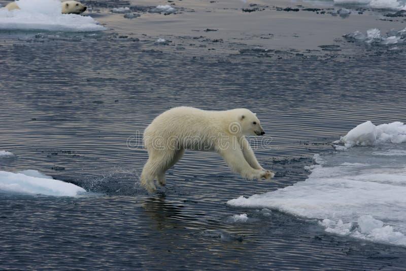 Jumping Polar bear cub 2 royalty free stock image