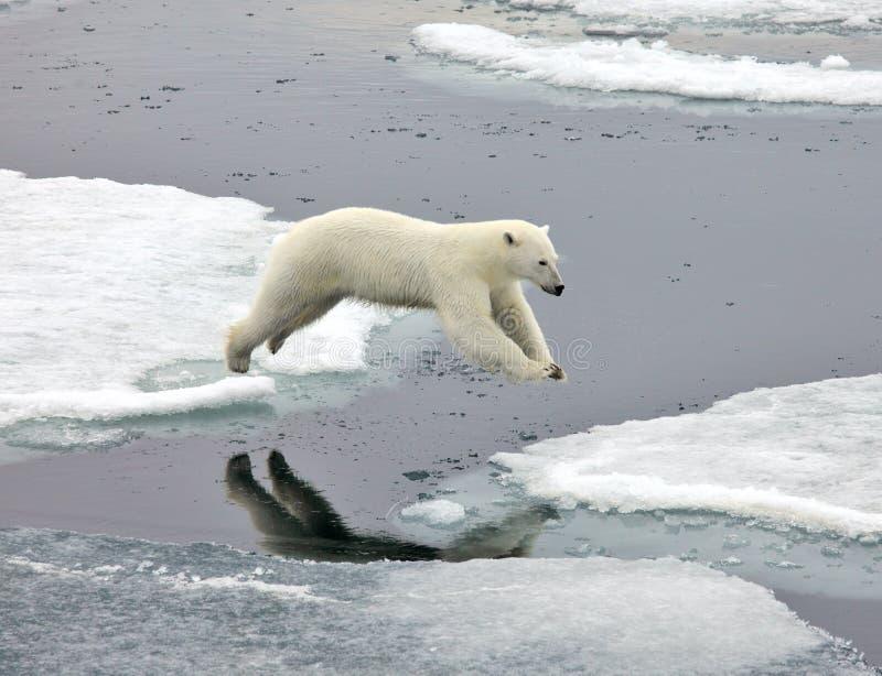 Jumping polar bear stock image