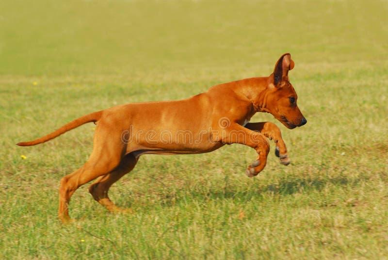 Jumping puppy stock photos
