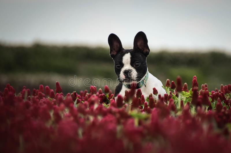 Jumping puppy of french bulldog stock image