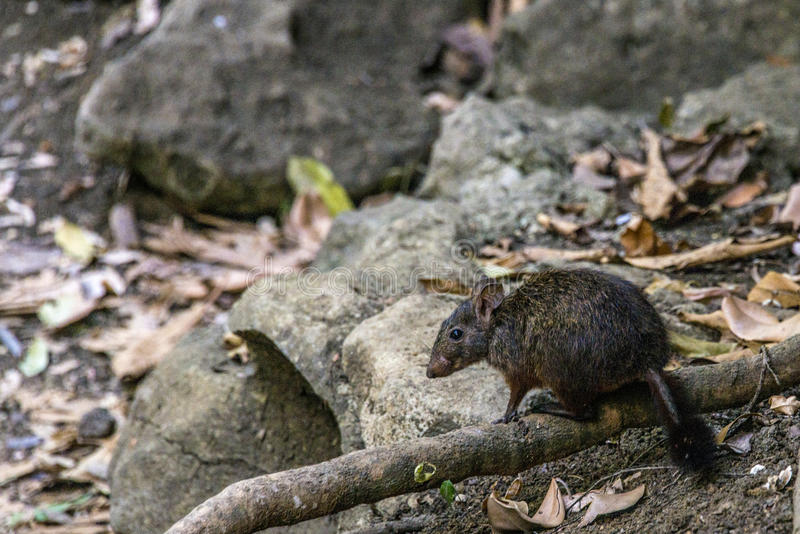 Jumping rat. Tsingy de Bemaraha Nature Park. Madagascar royalty free stock image