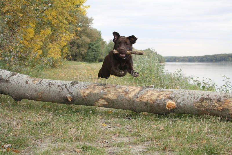 Jumping retriever. Chocolate labrador retriever jumping over trunk, retrieving a peace of wood royalty free stock photography