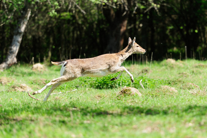 Jumping roe deer stock image