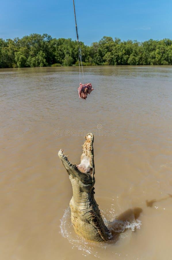 Jumping saltwater crocodile in Kakadu National Park in Australia& x27;s Northern Territory stock photo