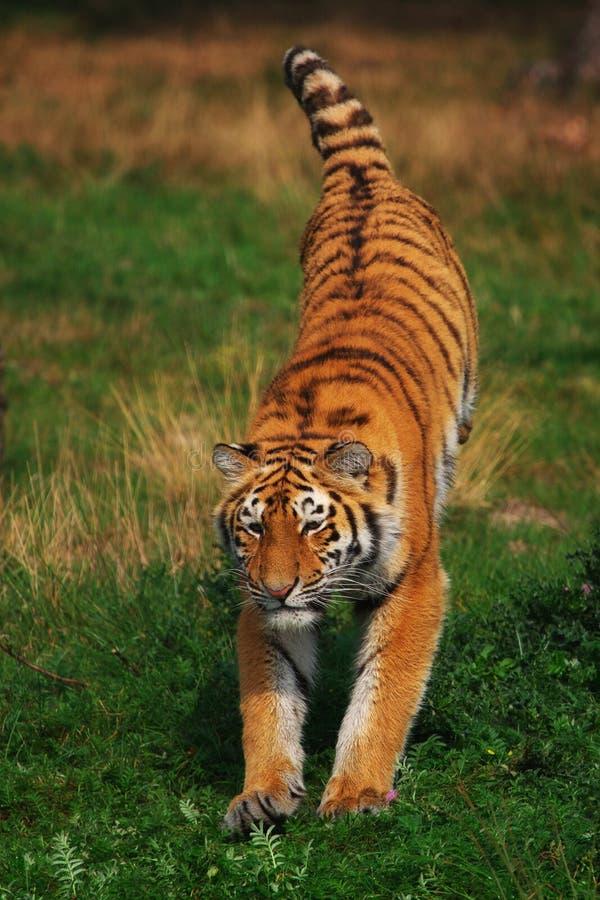 Jumping Siberian Tiger stock images