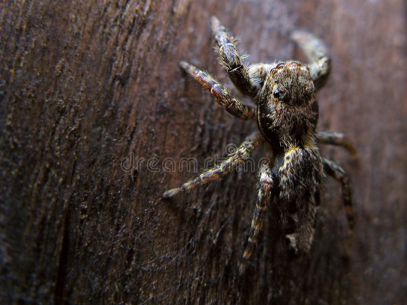 Jumping Spider Free Stock Photography