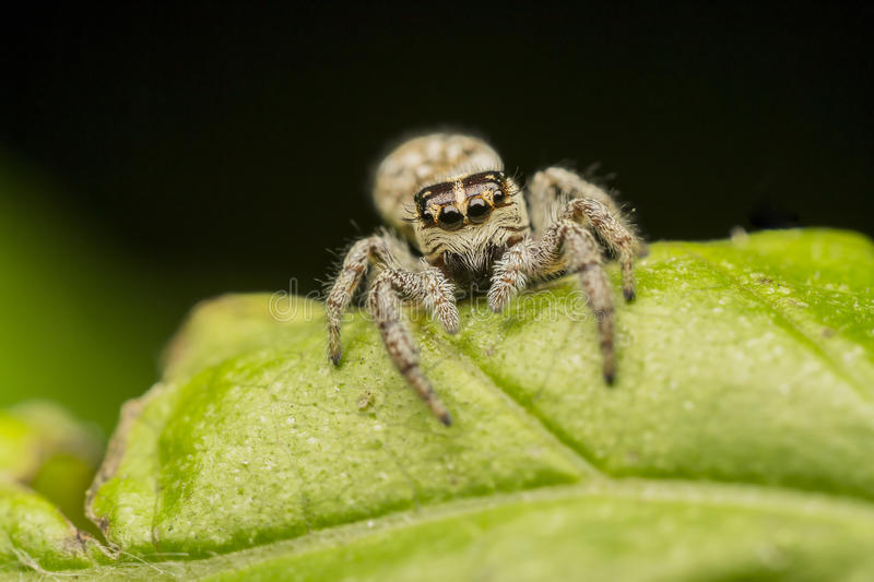 Download Jumping Spider stock photo. Image of flora, fright, animal - 25480646