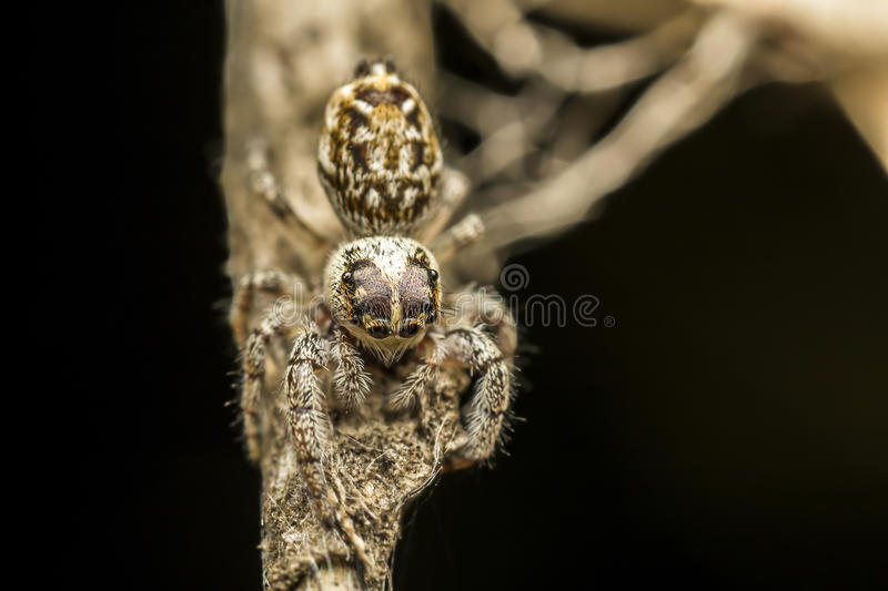 Download Jumping Spider stock image. Image of curious, attacking - 25480931