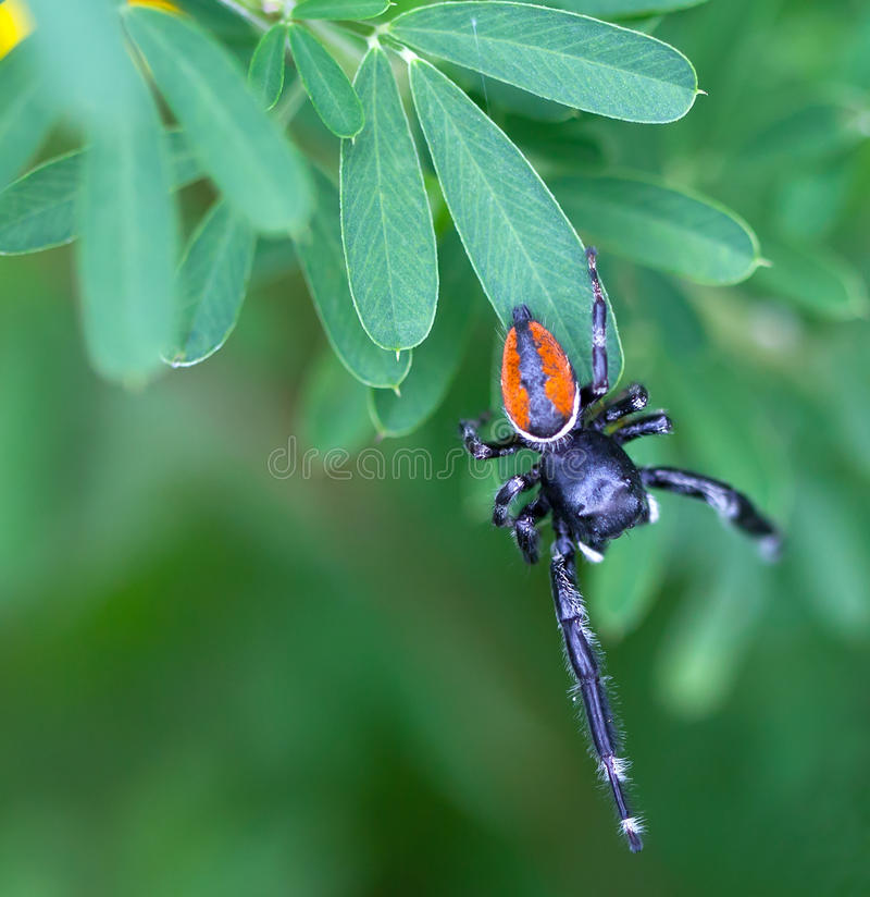 Download Jumping Spider stock image. Image of copy, wildlife, background - 26137509