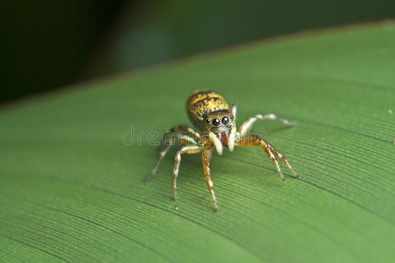 Download Jumping Spider stock image. Image of taxonomy, venom - 26834751