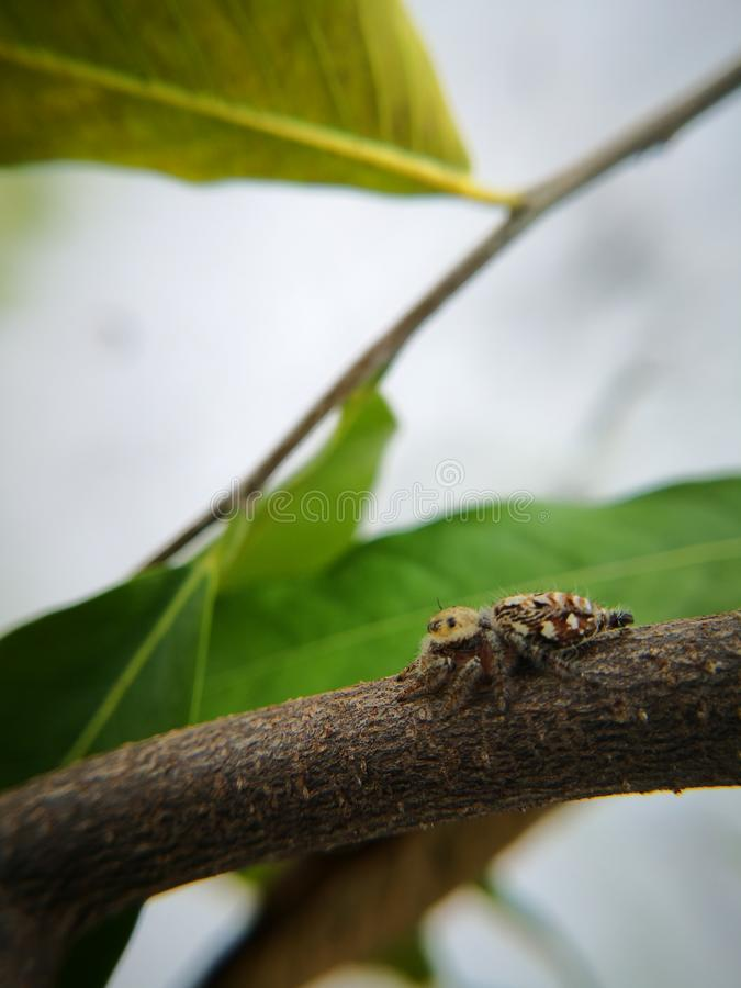 Jumping spider also known as wolf spider waiting for prey. On twig. Macro photography. Jumping spider also known wolf twig branch tree green brown copy space o stock images