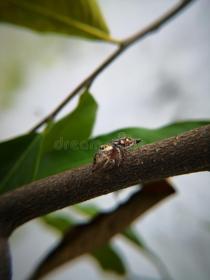 Jumping spider also known as wolf spider waiting for prey. On twig. Macro photography. Jumping spider also known wolf twig branch tree green brown copy space o royalty free stock image