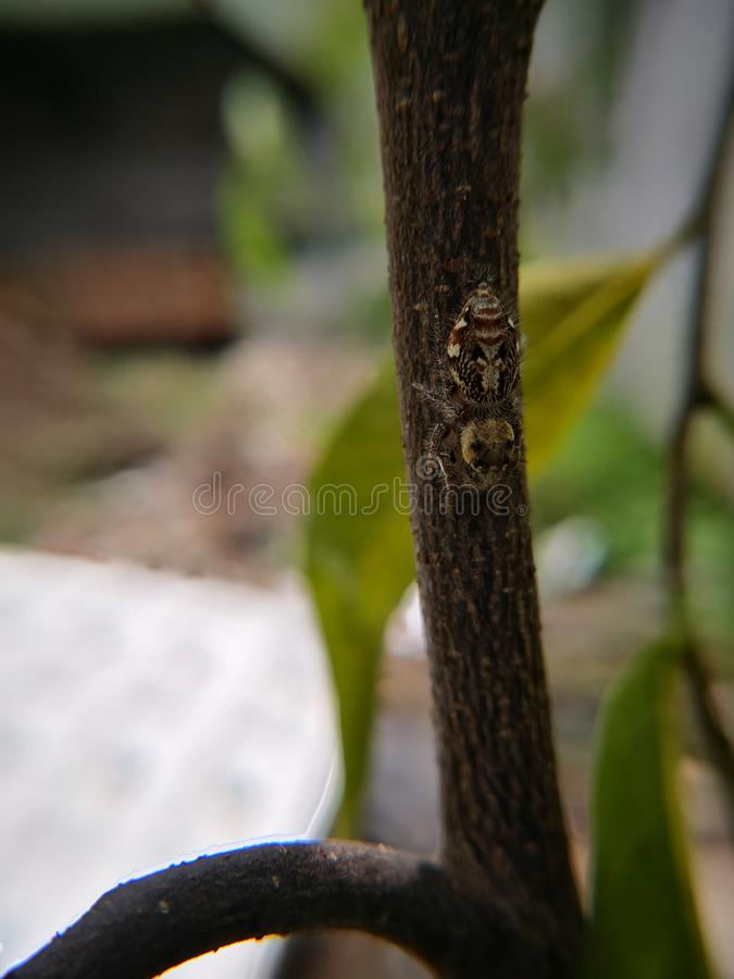Jumping spider also known as wolf spider waiting for prey. On twig. Macro photography. Jumping spider also known wolf twig branch tree green brown copy space o royalty free stock photos