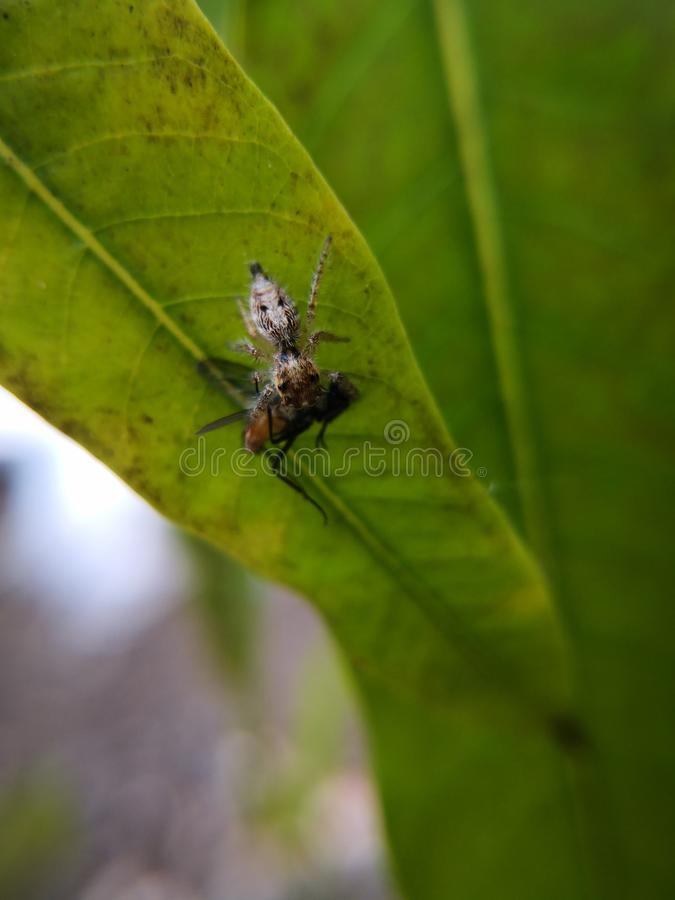 Jumping spider also known as wolf spider waiting for prey. On twig. Macro photography. Jumping spider also known wolf twig branch tree green brown copy space o stock image
