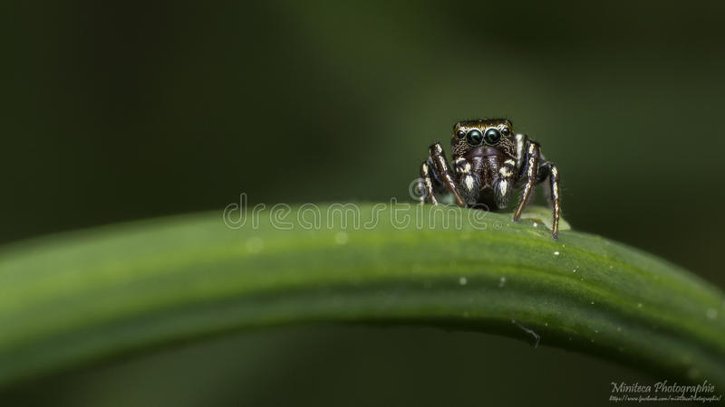 Jumping spider on a blade of grass stock images