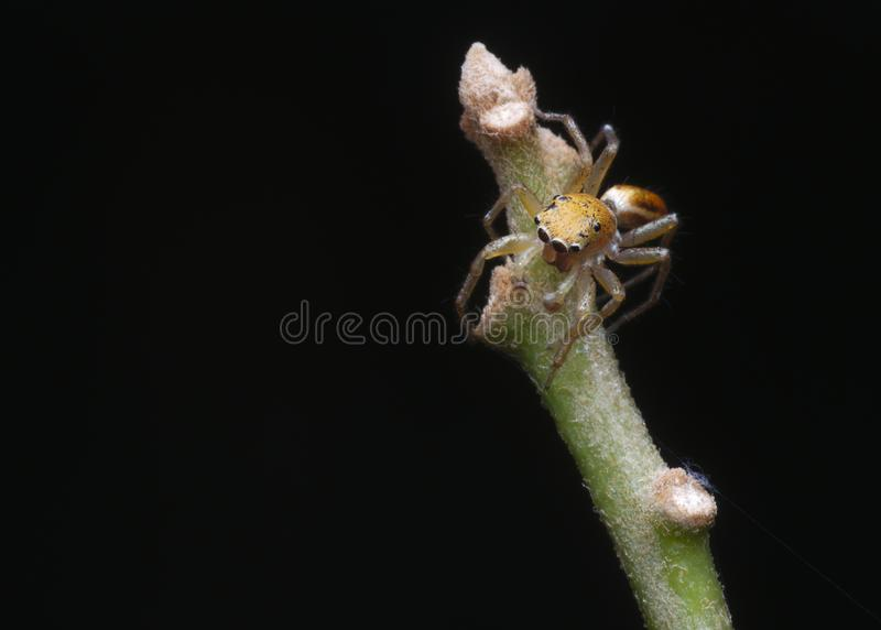 Jumping spider on the branch. A cute little yellow jumping spider on the branch, shoot with panasonic lumix G85 camera and olympus 60mm macro lens, edit with stock image