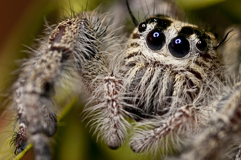 Download Jumping Spider (Close-Up) stock image. Image of salticidae - 28462865