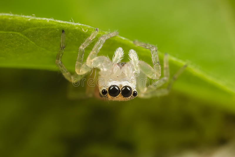 Jumping spider. A close up of a young jumping spider stock image