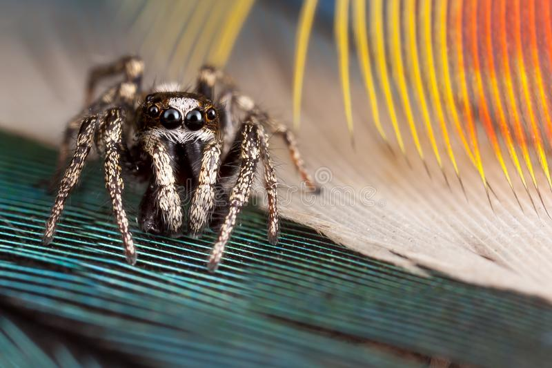 Jumping spider and feathers. Jumping spider and colorful parrot feathers stock image