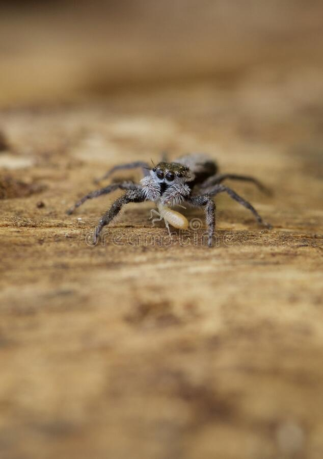 Jumping Spider eating termite. A small, furry jumping spider family Salticidae hiding under the bark of a dead tree eats a little termite stock photos