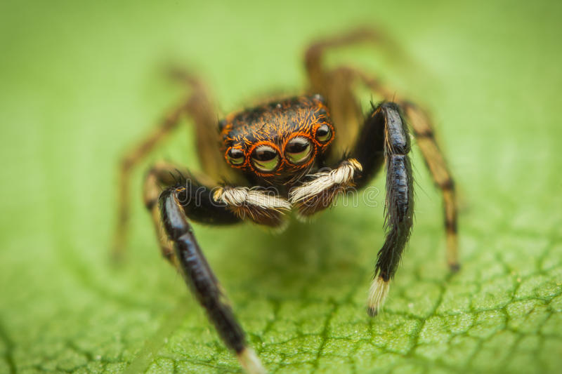 Jumping Spider (Euophrys Frontalis) Stock Photo