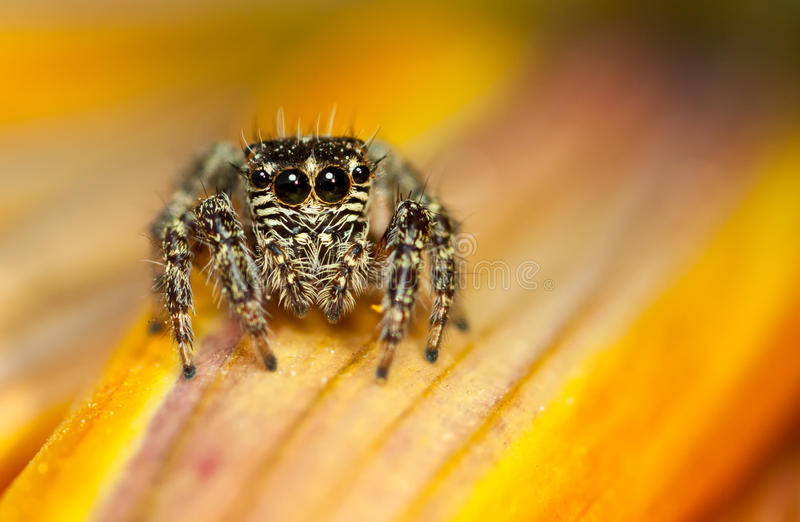 Jumping spider - Evarcha sp. Salticidae stock images