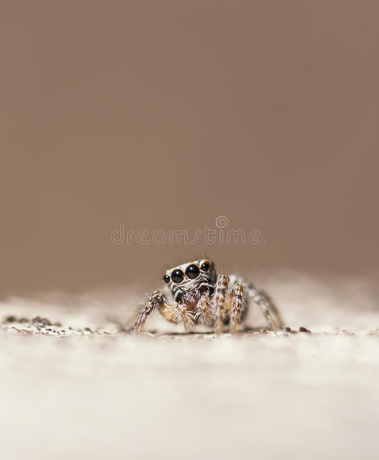 Jumping spider - Evarcha sp. Salticidae royalty free stock photography