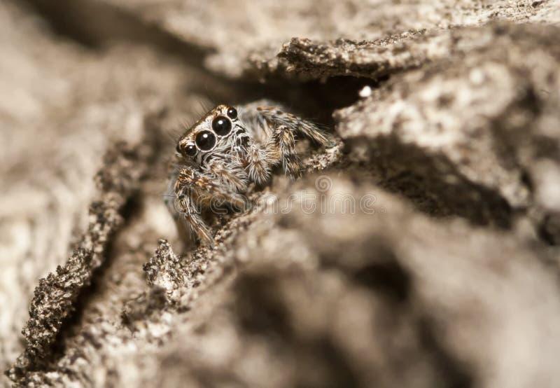 Jumping spider - Evarcha sp. Salticidae on tree bark stock image