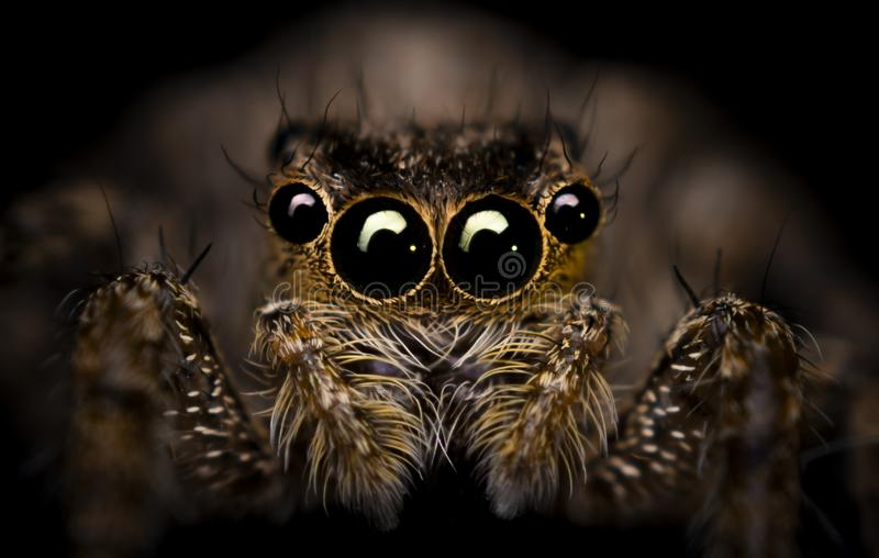 Jumping Spider. A extreme macro photography of Jumping Spider stock photo