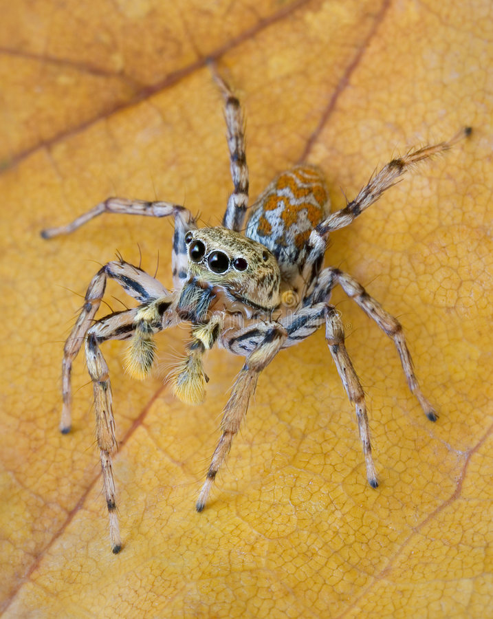 Jumping spider on fall leaf royalty free stock image