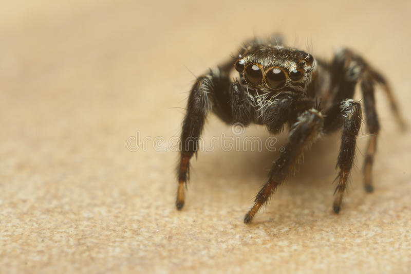 Jumping spider on floor stock images