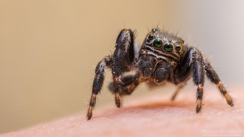Jumping spider green eyes royalty free stock image