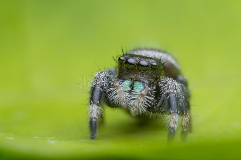 Jumping spider on green leaf in nature stock photos