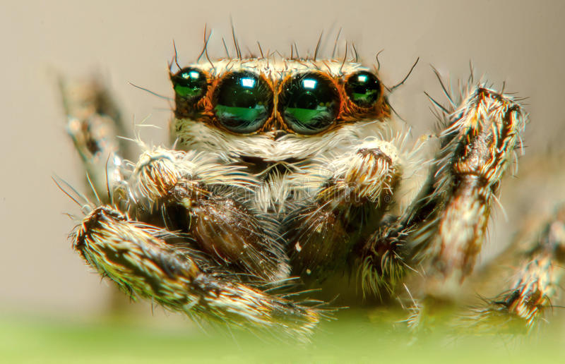 Jumping spider. Have big eye and long hair royalty free stock photography