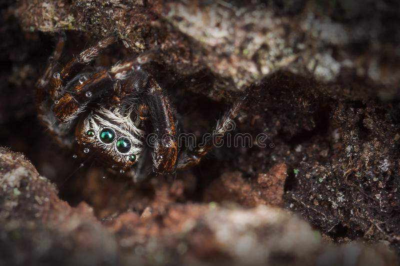 Jumping spider on the tree bark. Jumping spider hid behind the old and dark tree bark stock image